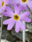 Primevère laurentienne : 3- Fleur