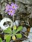 Primevère laurentienne : 4- Plante en fleurs