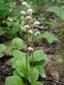 Pyrole elliptique : 1- Plantes en fleurs