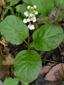 Pyrole elliptique : 5- Plante en fleurs