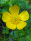 Common buttercup : 1- Flower
