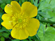 Common buttercup : 6- Flowers
