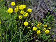 Common buttercup : 8- Plants with flowers and fruits