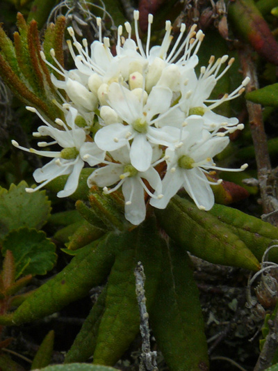Common Labrador tea (Rhododendron groenlandicum)