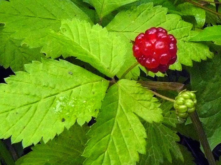 Dewberry (Rubus pubescens) : Fruit