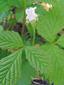 Ronce pubescente : 2- Plante en fleur