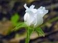 Ronce pubescente : 4- Fleur
