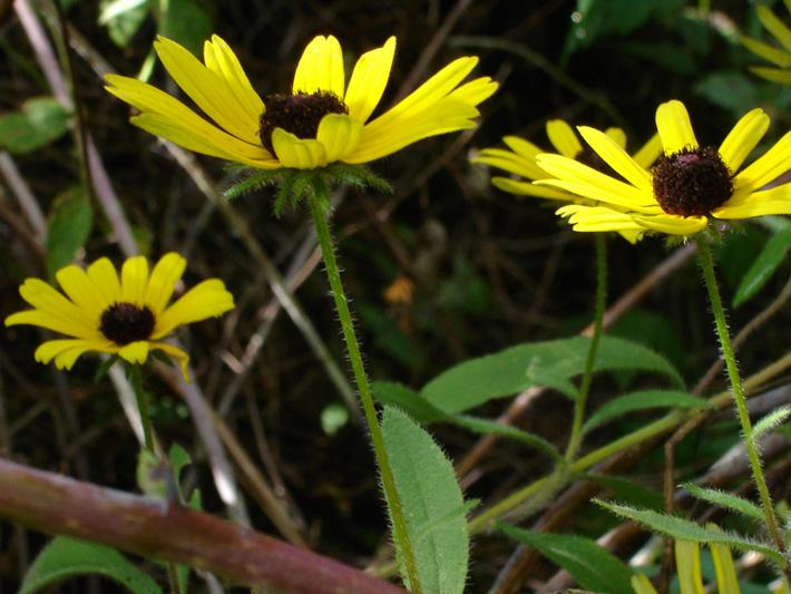 Rudbeckie tardive (Rudbeckia hirta) Fleurs