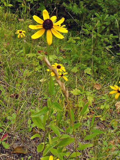 Rudbeckie tardive (Rudbeckia hirta) Plante en fleur