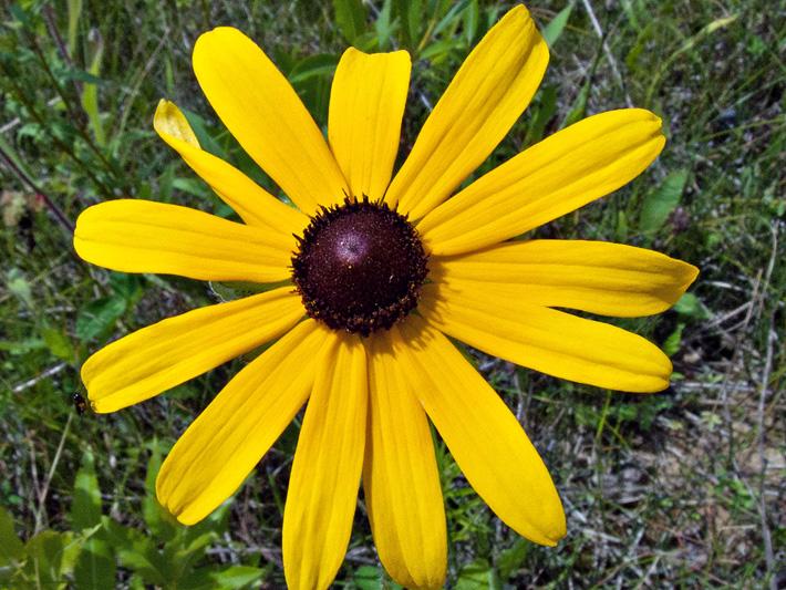 Rudbeckie tardive (Rudbeckia hirta) Fleur