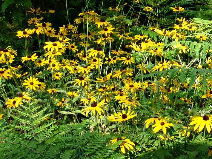 Black-eyed Susan (Rudbeckia hirta) : Colony