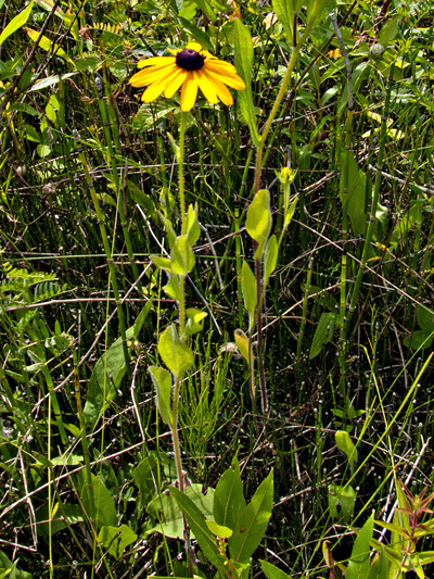 Black-eyed Susan (Rudbeckia hirta) : Flowering plant