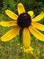 Black-eyed Susan : 1- Flower