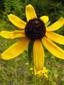 Rudbeckie tardive : 1- Fleur