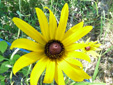Black-eyed Susan : 3- Flower