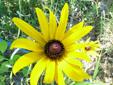 Rudbeckie tardive : 3- Fleur