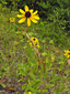 Black-eyed Susan : 4- Flowering plant