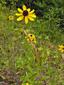 Rudbeckie tardive : 4- Plante en fleur