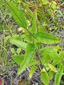 Black-eyed Susan : 5- Stem and leaves