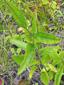 Rudbeckie tardive : 5- Tige et feuilles