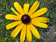 Rudbeckie tardive : 6- Fleur