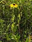 Black-eyed Susan : 8- Flowering plant