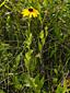 Rudbeckie tardive : 8- Plante en fleur
