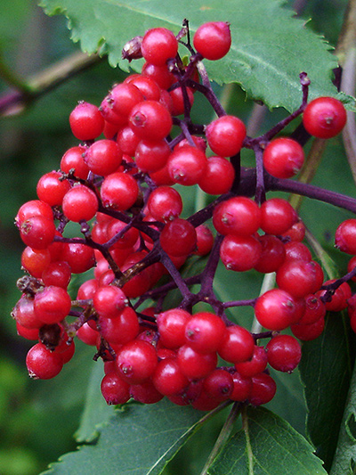 Red elderberry (Sambucus racemosa) : Fruits