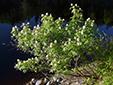 Sureau rouge : 11- Arbuste en fleurs