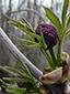 Sureau rouge : 3- Bourgeons floraux