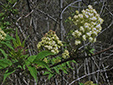 Red elderberry : 5- Flowes and buds