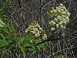 Sureau rouge : 5- Fleurs et bourgeons