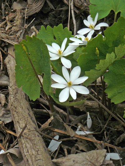 Bloodroot (Sanguinaria canadensis) : Flowering plants