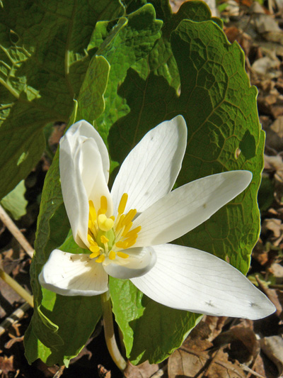Sanguinaire du canada (Sanguinaria canadensis) Fleur
