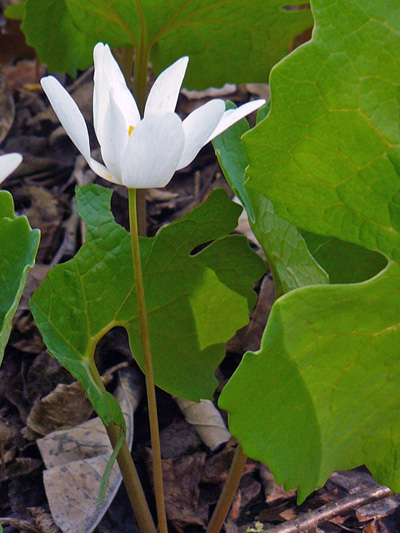 Bloodroot (Sanguinaria canadensis) : Flowering plant