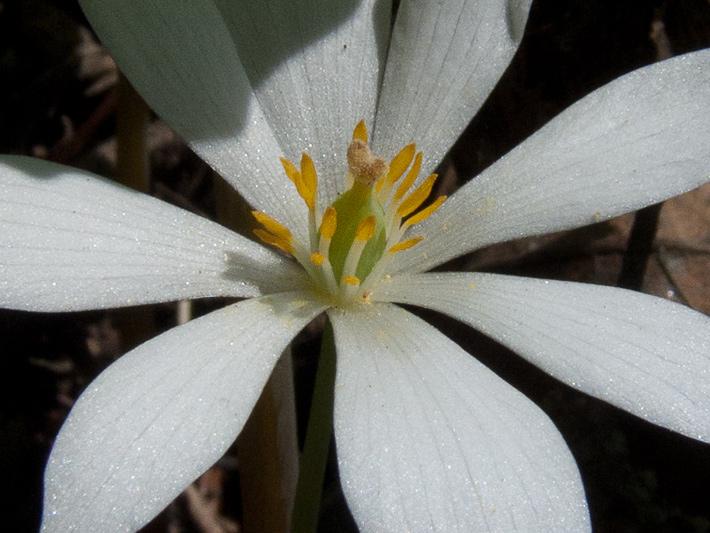 Sanguinaire du canada (Sanguinaria canadensis) Fleur (détails)