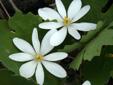Bloodroot : 2- Flowers