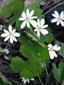 Bloodroot : 6- Flowering plants
