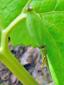 Sanguinaire du canada : 7- Fruit
