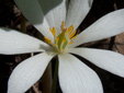 Sanguinaire du canada : 8- Fleur (détails)