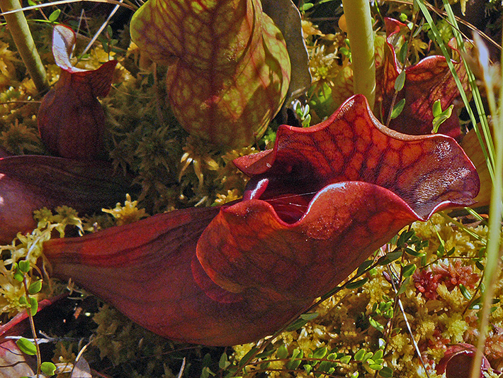 Northern pitcher plant (Sarracenia purpurea) : Phytotelmatas