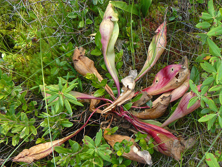 Northern pitcher plant (Sarracenia purpurea) : Plant lacking water