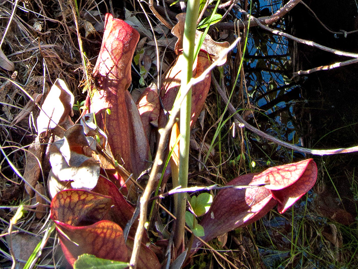 Northern pitcher plant (Sarracenia purpurea) : Tubular leaves forming phytotelmata  (insect traps)