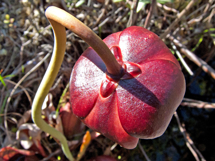 Northern pitcher plant (Sarracenia purpurea) : Flower seen from above