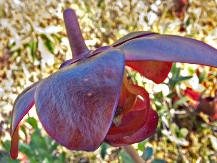 Northern pitcher plant (Sarracenia purpurea) : Flower