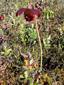 Sarracénie pourpre : 2- Plante en fleur