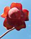 Sarracénie pourpre : 3- Fleur vue du dessous