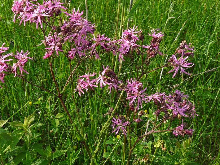 Ragged-robin (Silene flos-cuculi) : Flowering plants