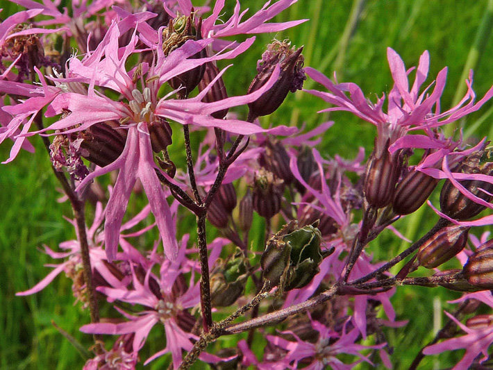 Ragged-robin (Silene flos-cuculi) : Flowers
