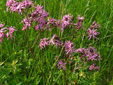 Ragged-robin : 2- Flowering plants